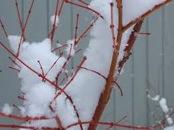Snow Shrub
