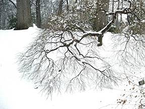 Dormant Japanese Maple