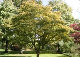 Green Upright Japanese Maple