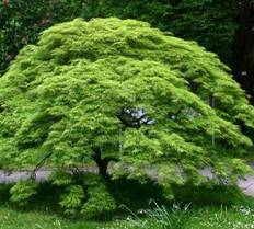 Green Weeping Japanese Maple