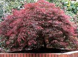 Red-Weeping-Japanese-Maple