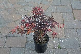 1-gallon-plant