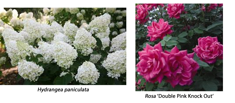 Hygrangea paniculata and Rosa 'Double Pink Knock Out'