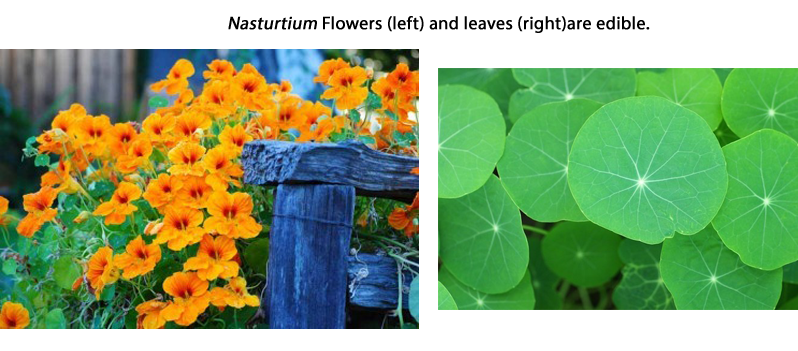 Nasturtium flowers (left) and Nasturtium leaves (right)
