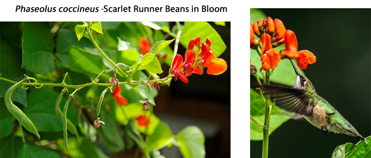Phaseolos coccineus 'Scarlet Runner Beans'