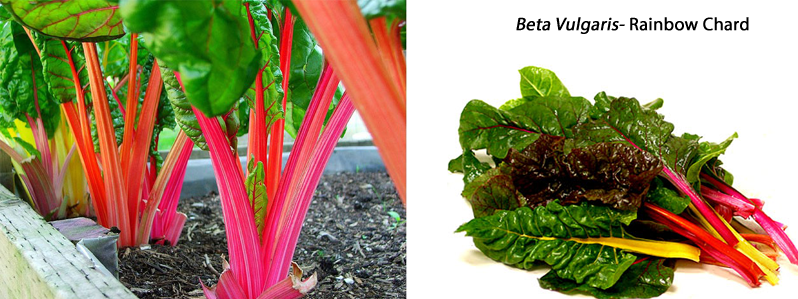 Beta Vulgaris 'Rainbow Chard'