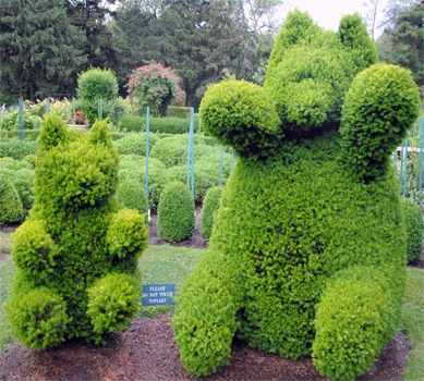 Green Mountain Boxwood Bear Topiary for a Winter Garden in Raleigh