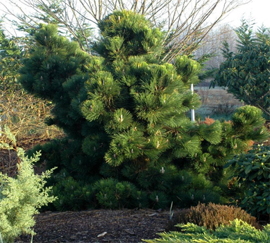 Thunderhead Pine for Use in a Winter Garden in Raleigh
