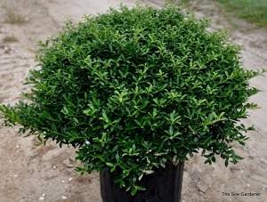 Ilex crenata 'Soft Touch' – Soft Touch Japanese Holly