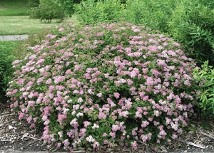 Spiraea 'Little Princess' – Little Princess Spirea