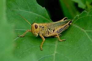 Grasshopper in NC Garden