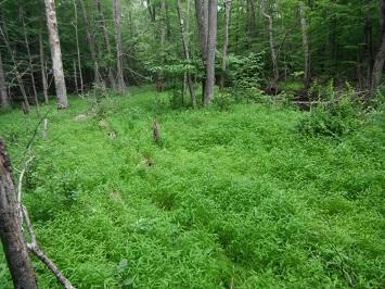Microstegium Growing in the Woods