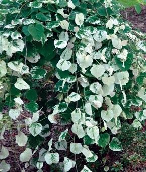 Hypericum moserianum 'Tricolor'