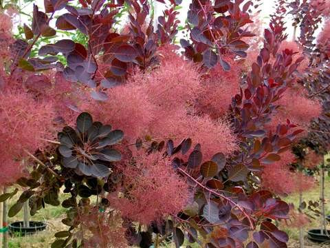 Purple Smokebush