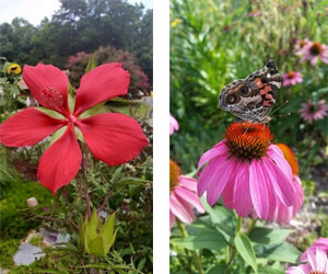 Hibiscus and Echinacea