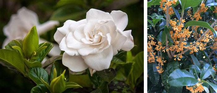 Gardenia Osmanthus