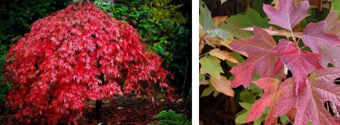 Acer palmatum and Hydrangea quercifolia