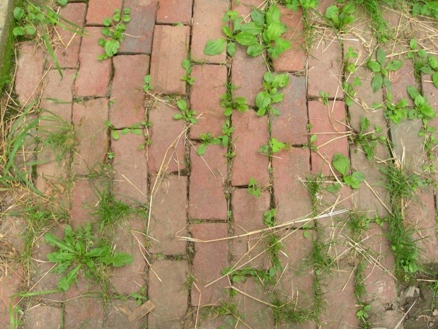 Weeds in Walkway
