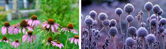 Echinacea In Summer & Winter